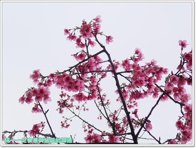 image055初鹿牧場櫻花