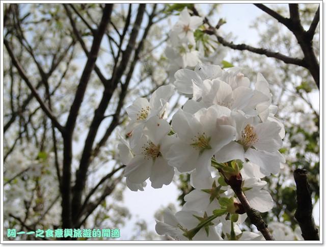 陽明山竹子湖海芋大屯自然公園櫻花杜鵑image051