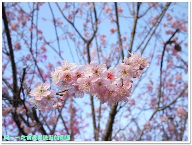 image067桃園客家文化館櫻花