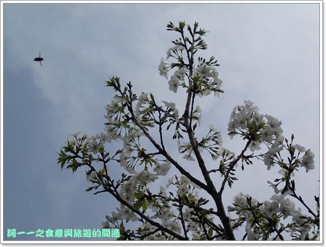 陽明山竹子湖海芋大屯自然公園櫻花杜鵑image057