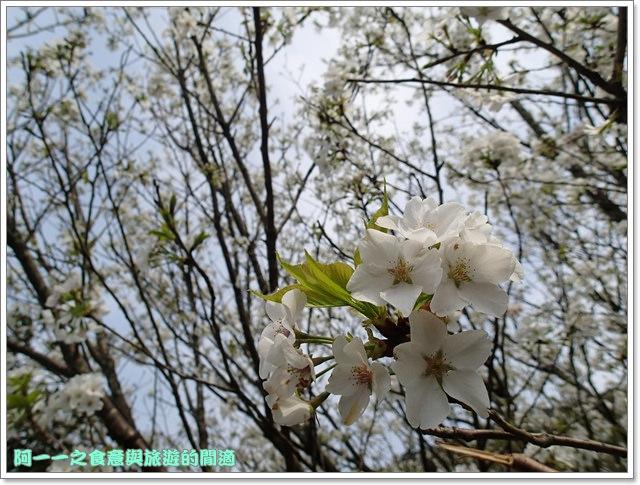 陽明山竹子湖海芋大屯自然公園櫻花杜鵑image045