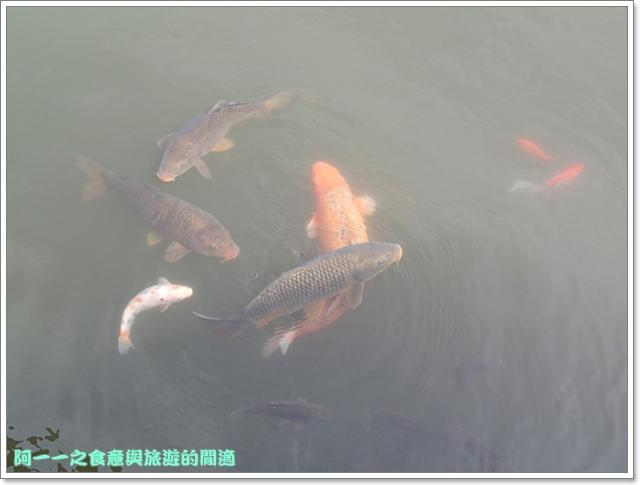 陽明山竹子湖海芋大屯自然公園櫻花杜鵑image031