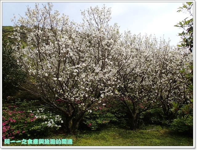 陽明山竹子湖海芋大屯自然公園櫻花杜鵑image041