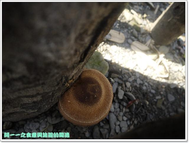 南投武界段木香菇一線天image021