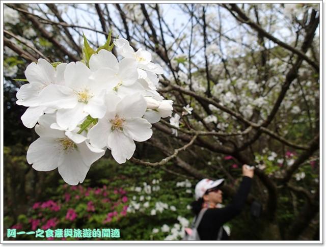 陽明山竹子湖海芋大屯自然公園櫻花杜鵑image053