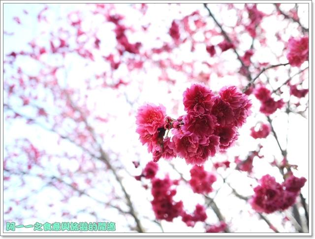 image087桃園客家文化館櫻花