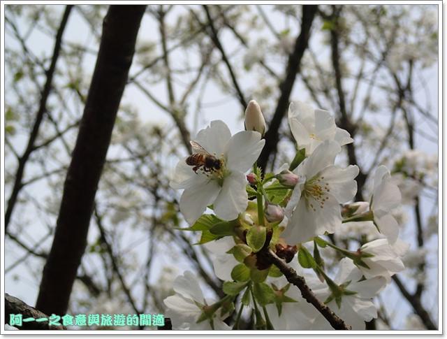 陽明山竹子湖海芋大屯自然公園櫻花杜鵑image059