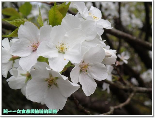 陽明山竹子湖海芋大屯自然公園櫻花杜鵑image047