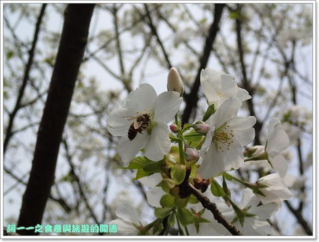 陽明山竹子湖海芋大屯自然公園櫻花杜鵑image061