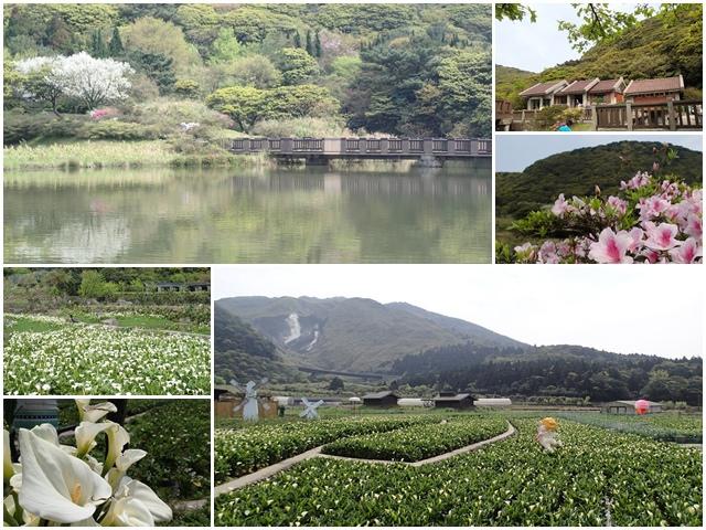台北陽明山 大屯山自然公園&竹子湖~賞白櫻花海芋杜鵑花